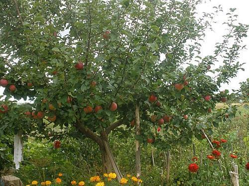 Посаженная летом яблоня начала плодоносить