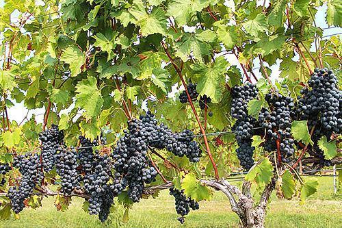 Правильно сформированный куст винограда