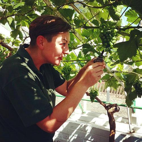 Прореживание завязи на столовых сортах винограда