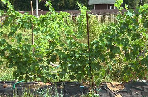 Ранний виноград на дачном участке