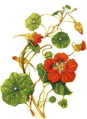Садовый цветок настурция