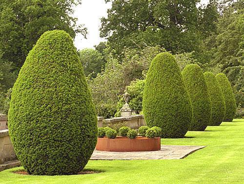 Самшитовые деревья в ландшафте