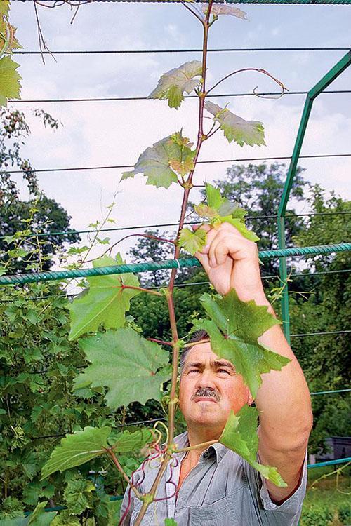 Своевременная подвязка винограда