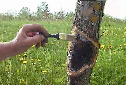 Своевременное лечение заболеваний дерева