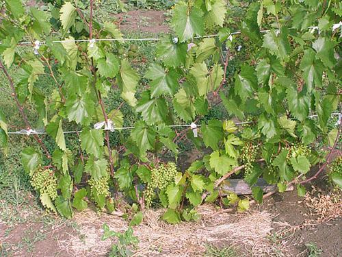Виноград на даче - сорта, выращивание и уход в открытом грунте
