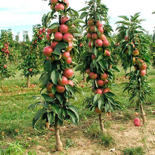 Ухоженный сад колоновидных яблонь