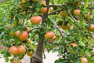 Урожай на привитой яблоне