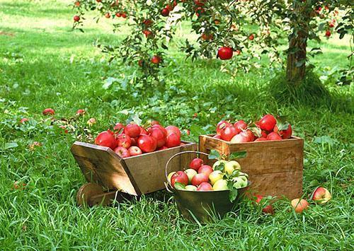 Урожай ранних яблок