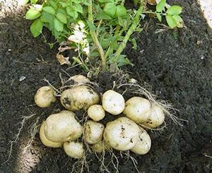 Урожай с грядок по Митлайдеру