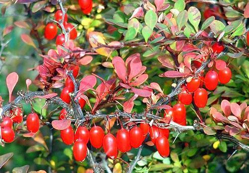 Вид барбариса обыкновенного осенью
