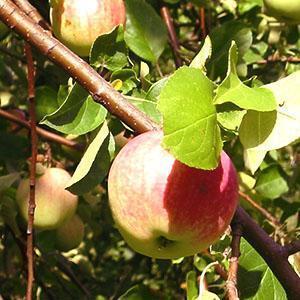 Вид здорового дерева и плода