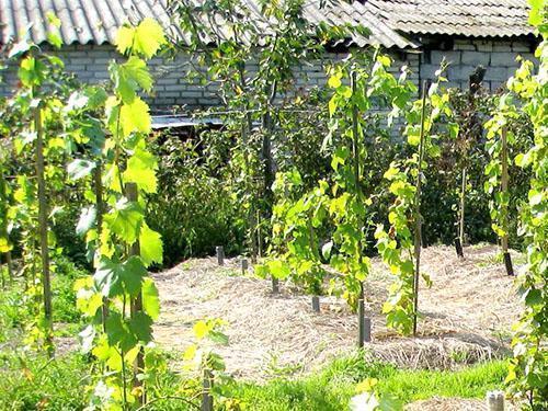 Виноград на дачном участке