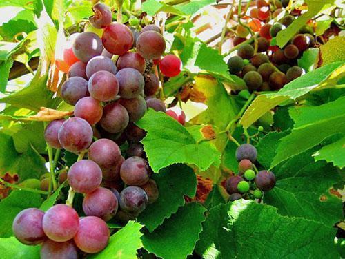 Виноград нуждается в лечении