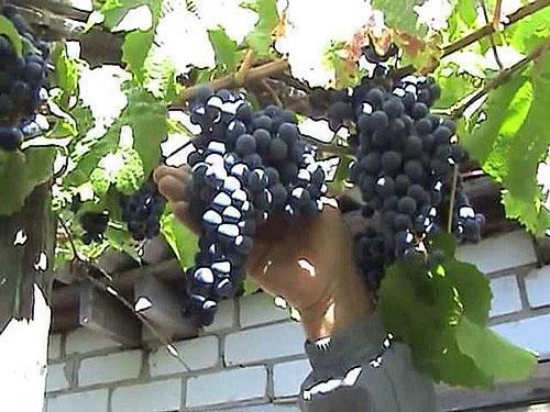 Серая гниль на винограде: как бороться и чем лечить, обработать куст