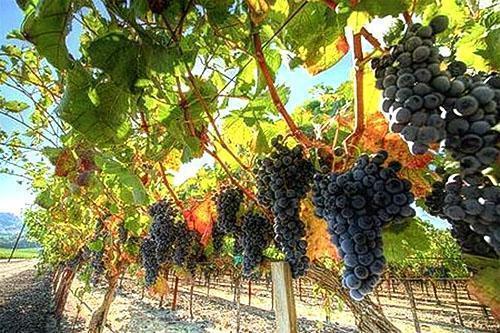 Виноградники Подмосковья