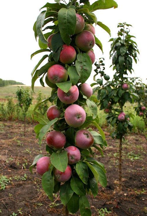Вкусные сладкие яблоки