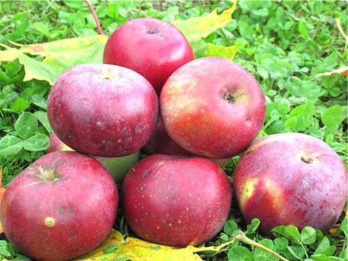 анис фото яблоня