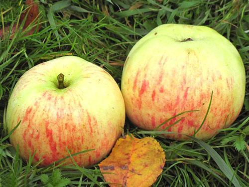 Яблоки сорта Избранница