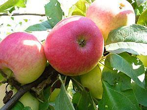 яблоки сорта медуница фото