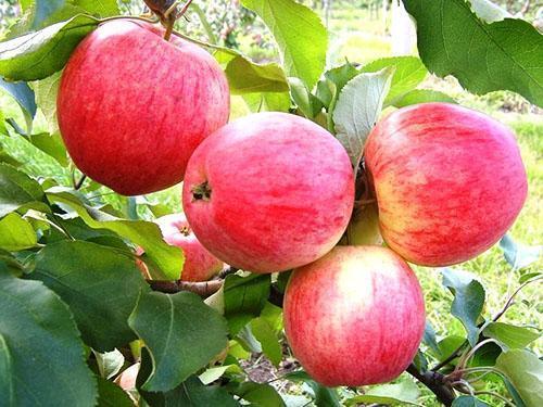 Яблоки сорта Раннее алое
