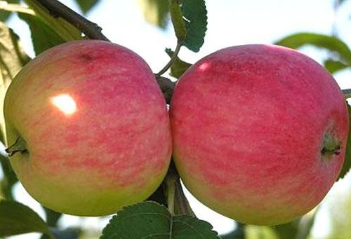 Яблоко сорта Мельба