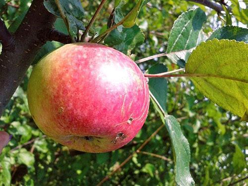 Яблоня Бессемянка мичуринская