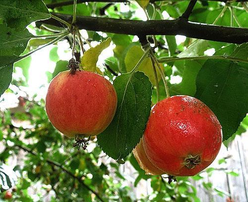 Яблоня Серебрянное копытце