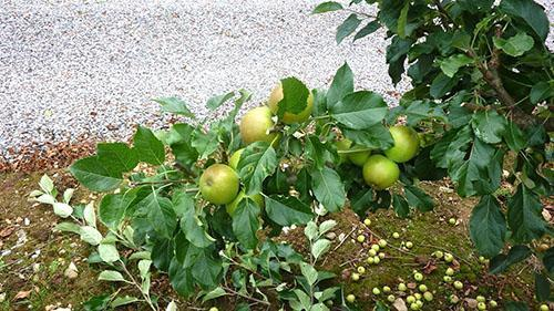 Яблоня очищенная от лишних побегов