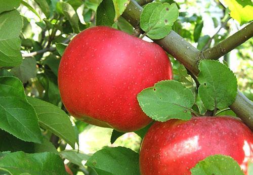 Яблоня сорта Ауксис