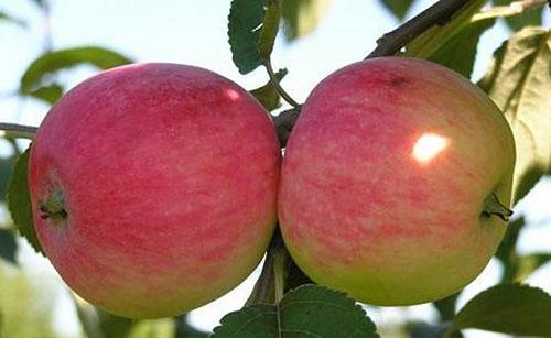 Яблоня сорта Мельба