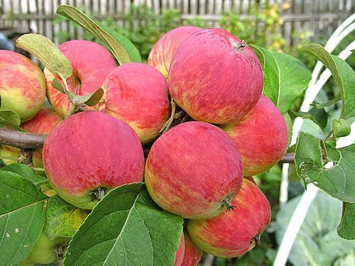 Яблоня сорта Уралец