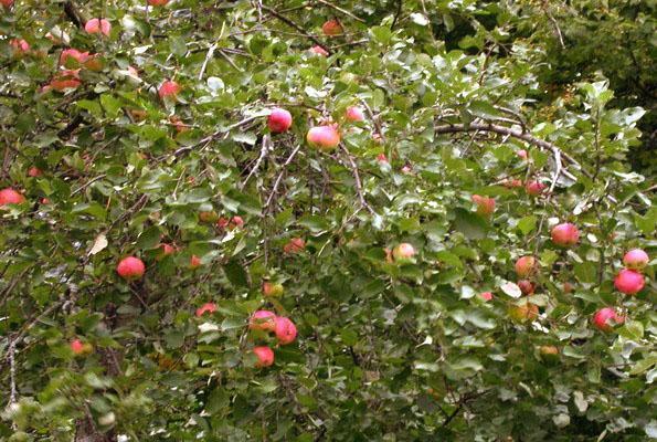 Яблоня в Ленинградской области