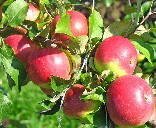 Яболки сорта Уэлси