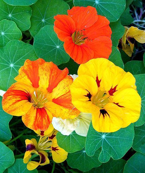 Яркие красивые цветы настурции