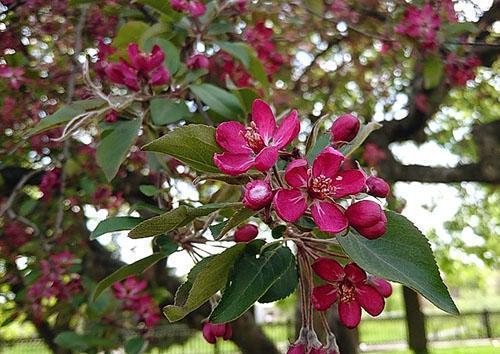 Яркое цветение сорта Нездвецкого