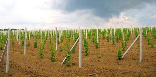 Засаженное виноградом поле