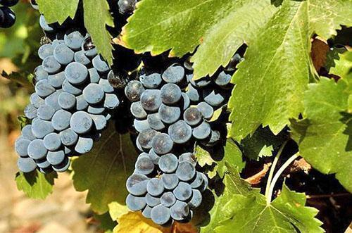 Основные болезни листьев винограда Правила борьбы