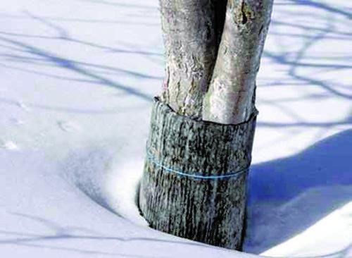 Зимняя защита яблонь