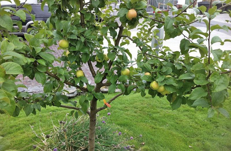 как вырастить яблоню из семечка плодоношение