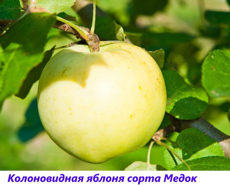 яблоня сорта медок