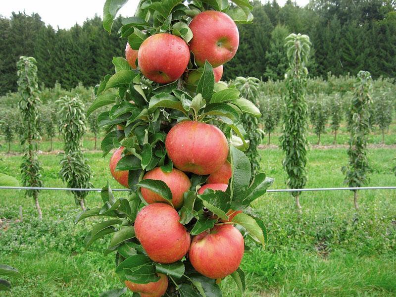 поздние сорта колоновидных яблонь