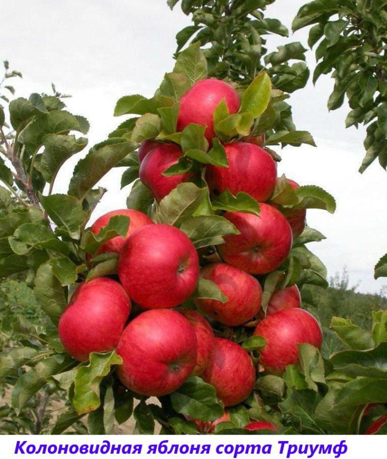 яблоня сорта триумф