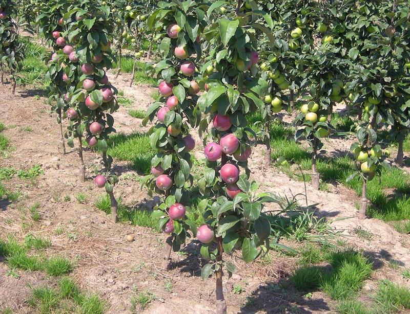 сорта колоновидных яблонь для подмосковья