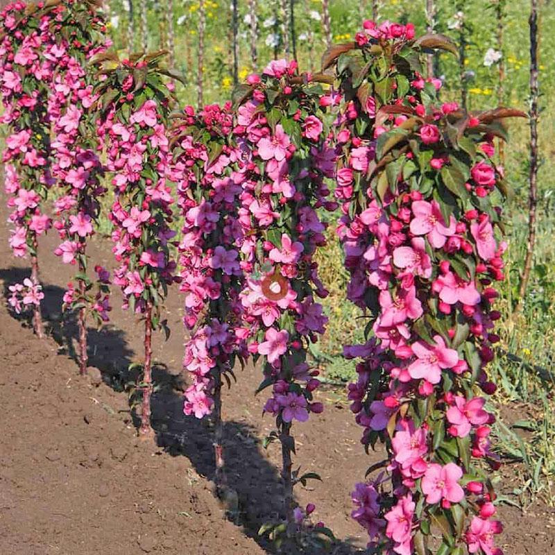 цветение колоновидных яблонь