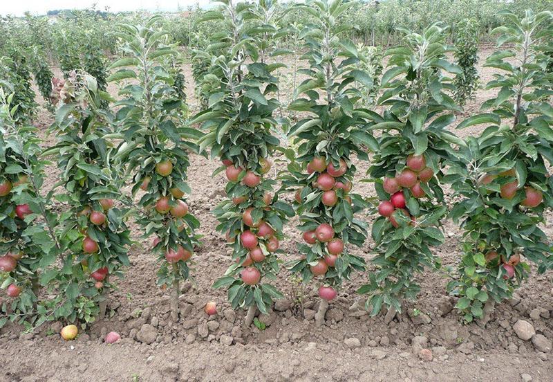 преимущества колоновидных яблонь