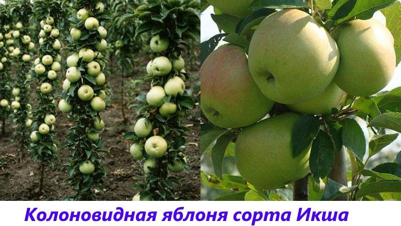 яблоня сорта икша