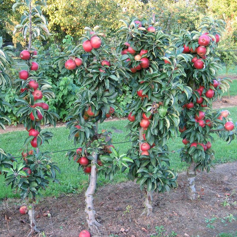 чем отличаются сорта колоновидных яблонь