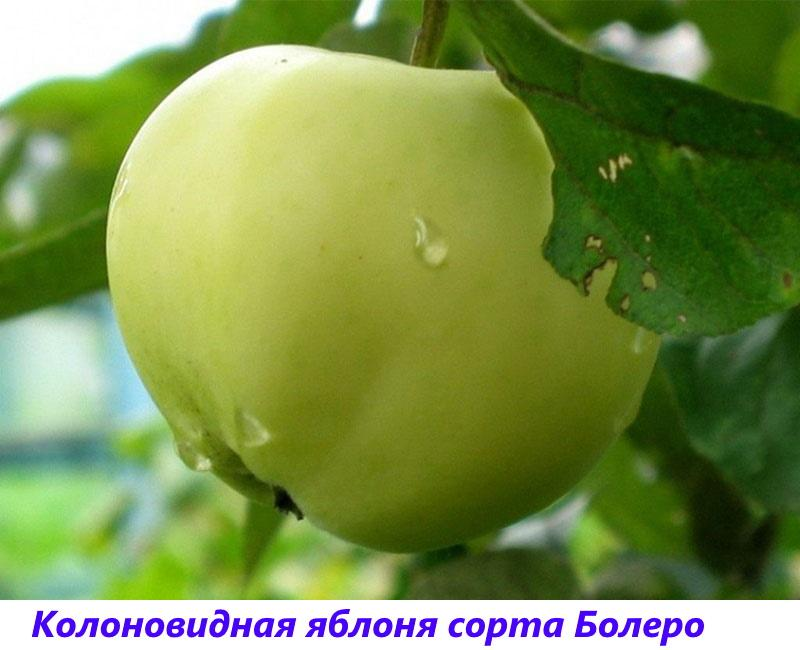 колоновидная яблоня сорта болеро