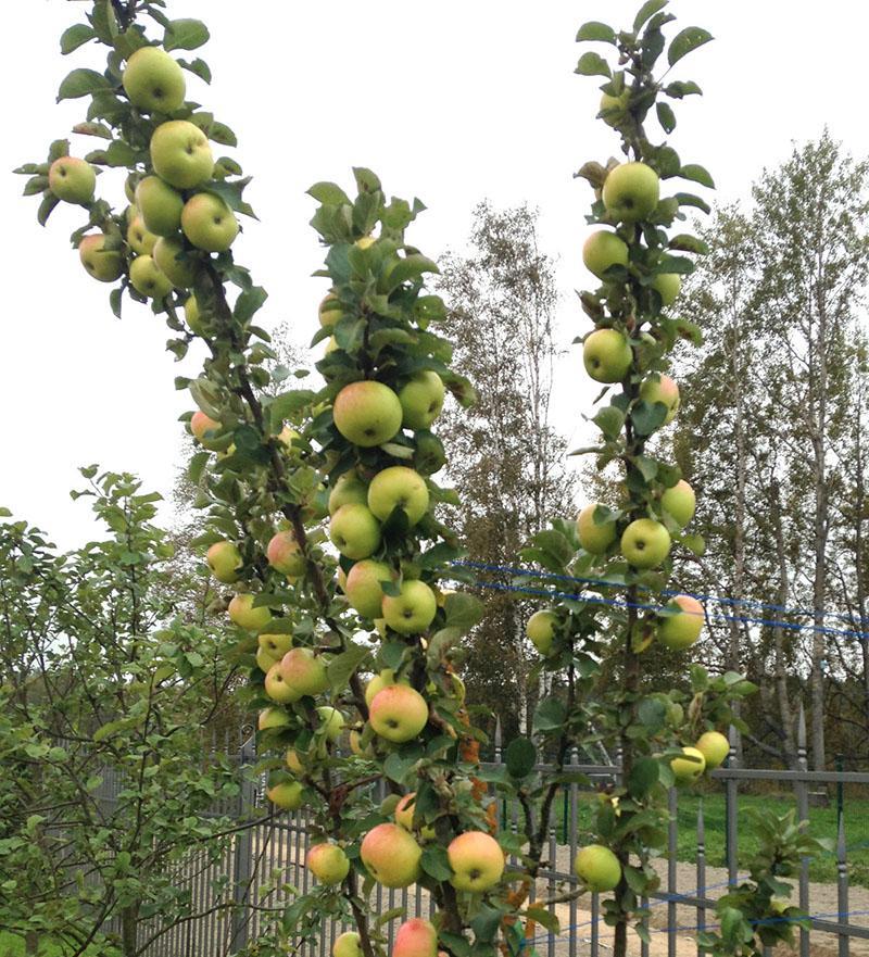яблоня в сибире