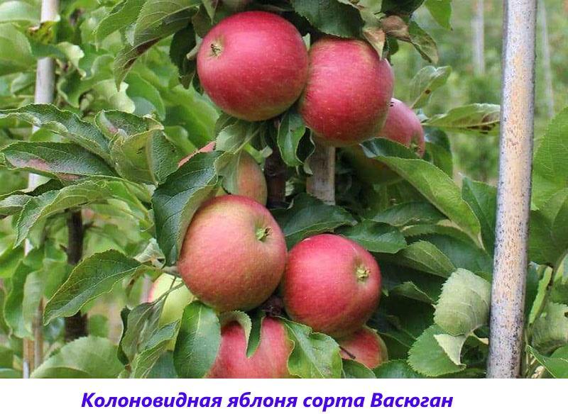сорт Васюган